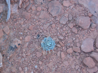 succulent growing on red rock